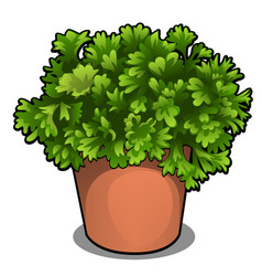 Lush bush parsley in a pot herbs for cooking vector