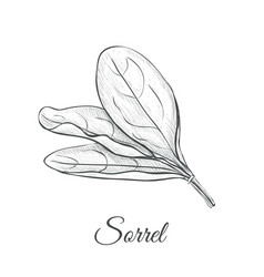 sorrel hand drawing vector image