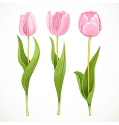 Three pink flowers tulips isolated on a vector