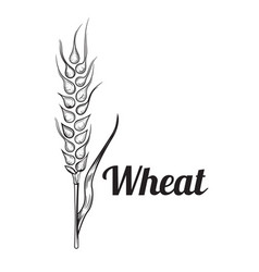 wheat bread ears cereal crop sketch hand drawn vector image