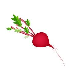 Fresh Radish Or Beet on White Background vector image vector image