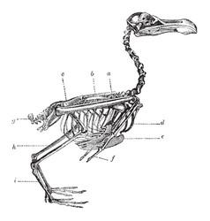 Skeleton of a bird vintage vector