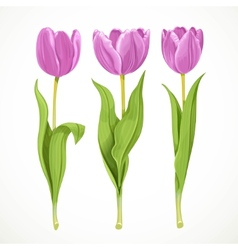 Three purple flowers tulips isolated on a vector image