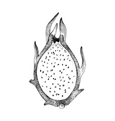 hand drawn half oh pitaya fruit vector image