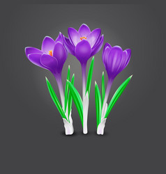 three crocus flowers vector image