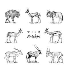 african wild antelope deer or doe duiker vector image