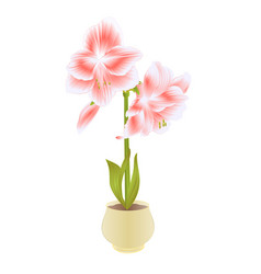 elegant blooming amaryllis pink flowers and bud vector image