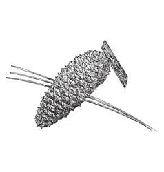 Pine cone of loblolly pine vintage vector