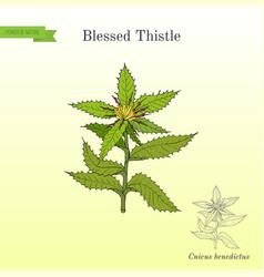 Blessed thistle cnicus benedictus medicinal vector