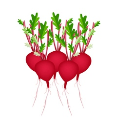 Stack of Radish Or Beet on White Background vector image