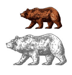 bear animal sketch walking brown grizzly vector image
