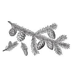 Black spruce pine cone vintage vector