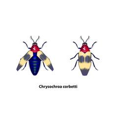 chrysochroa corbetti vector image