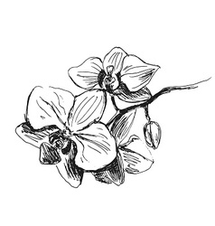 Hand sketch orchids vector image vector image