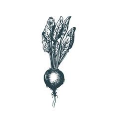 Hand drawn beet of vegetarian vector