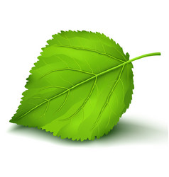 fresh green leaf isolated on white background vector image