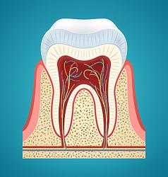 Healthy human tooth in cutaway vector image