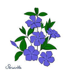 isolated decorative element periwinkle bouquet vector image