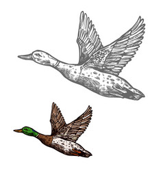 Duck bird sketch wild or farm waterfowl animal vector