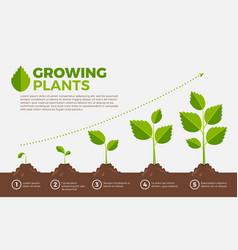 Different steps growing plants vector