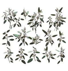 eucalyptus silver zerin cineraria greenery gum vector image