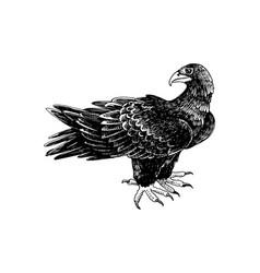 Hand drawn black eagle - aquila verreauxii vector