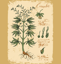 Hand-drawn botanical with cannabis vector
