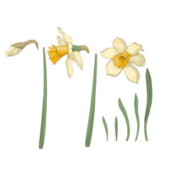 Narcissus close-up spring flowers vector
