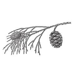 Pine cone of big tree vintage vector