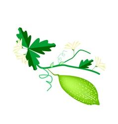 Fresh Green Bitter Melon on White Background vector image