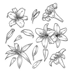 hand drawn elegant lily flowers vector image