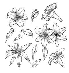 Hand drawn elegant lily flowers vector