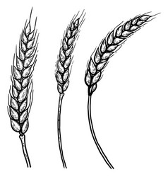 set hand drawn wheat spikelets design vector image