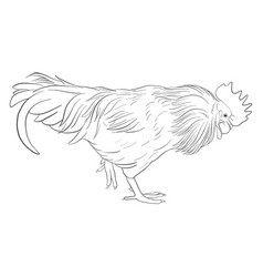 sketch of cock vector image