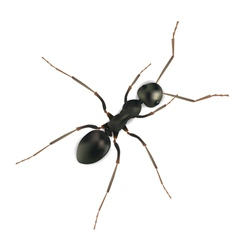realistic ant vector image vector image