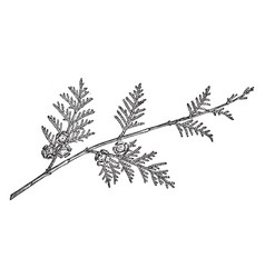 branch of lawsons cypress vintage vector image vector image