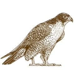 engraving falcon vector image vector image