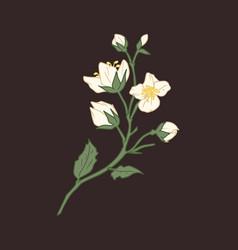 Flower jasmine white mock orange elegant vector