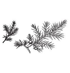 Branch of common juniper vintage vector