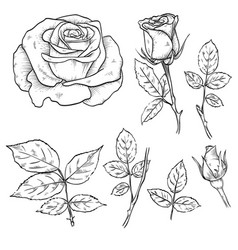 hand drawn elegant rose flowers vector image