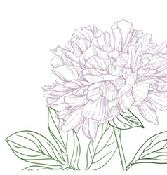 Peonies pink and green line art vector image vector image