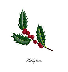 drawing branch holly tree vector image