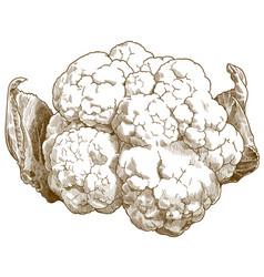 Engraving antique cauliflower vector