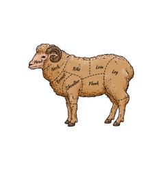 ram sheep meat cut guide on hand drawn farm animal vector image
