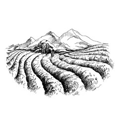 Tea plantation landscape vector