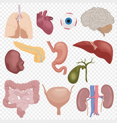human body internal parts organs set isolated on vector image