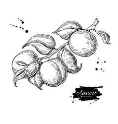 Apricot branch drawing hand drawn isolated vector