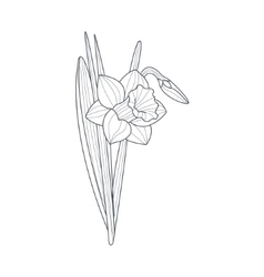 Narcissus Flower Monochrome Drawing For Coloring vector