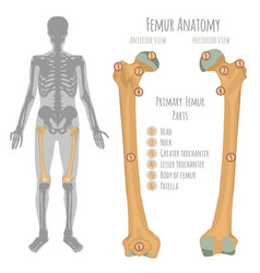 male hip bone anatomy vector image