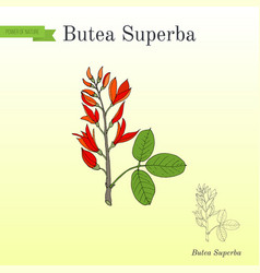 Butea superba asian vining shrub medicinal plant vector